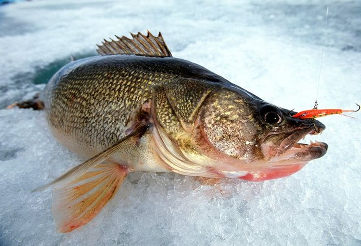 Rapala s jigging rap has been a go to ice fishing bait for for Go ice fish