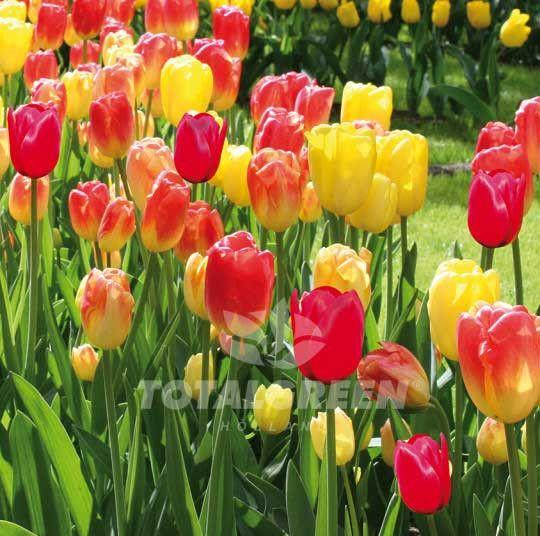#Tulip #Flowerbulbs #Trend #Landscaping #Landscape #Flowers #Colors #Colorful #Bulbs #Gardening #Garden #SpringGarden #Spring #FallPlanting