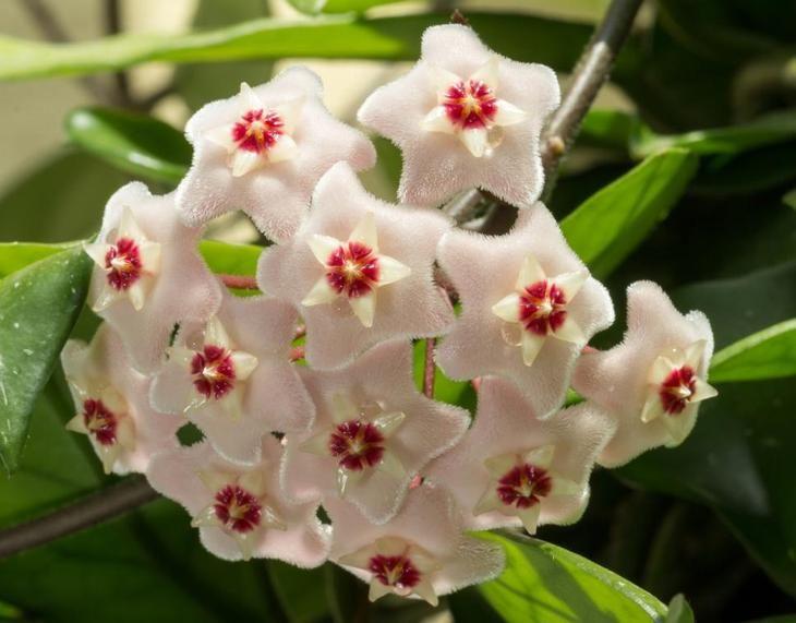 Хойя, цветок, комнатное растение