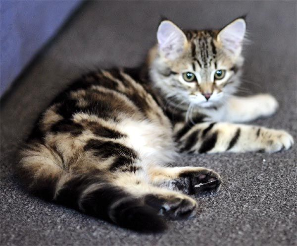 Siberian Cats :: Sibaris Cattery :: Our Kittens
