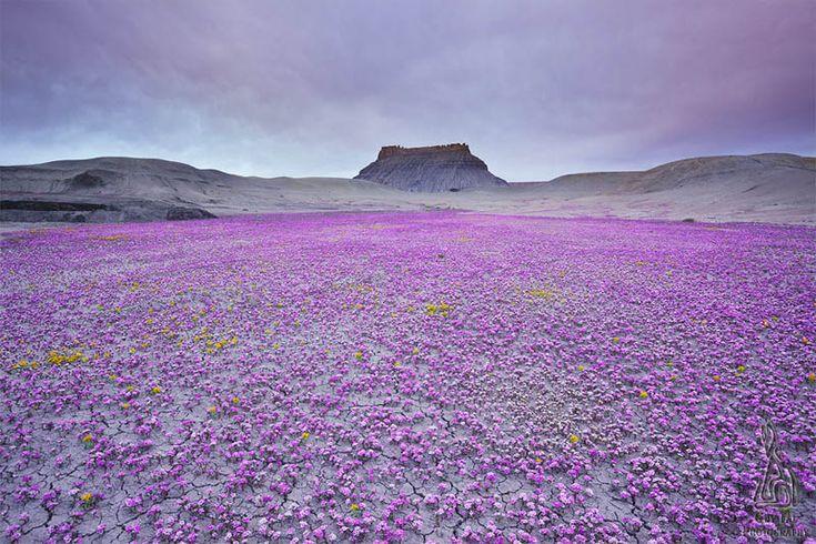 badlands of utah: Photos, Colors, Weed, Beautiful, Magic Carpets, Places, Flower Fields, Deserts Flower, Purple Flower