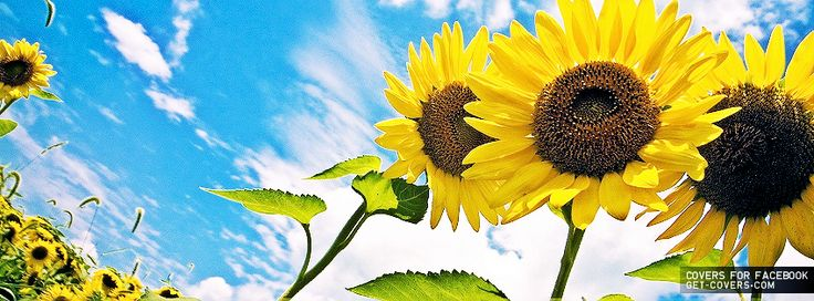 Sunflowers - Facebook Covers | Facebook Profile Covers ...