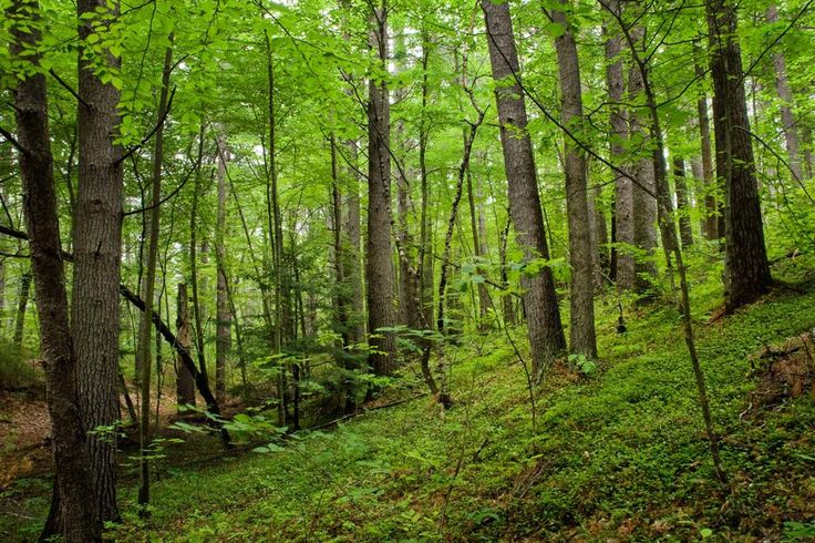 Hemlock - hardwood forest in New Hampshire near the white mountains