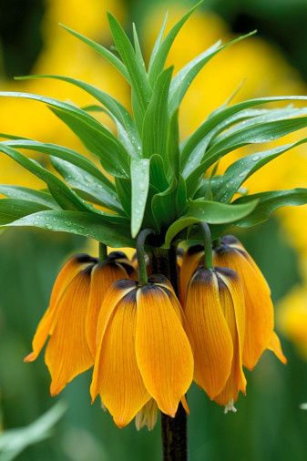 Fritillaria imperialis 'Orange Brilliant' - These are beautiful to look at, but they make the whole garden smell like a skunk has passed through!
