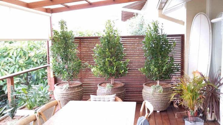 Relic pots with ficus gives privacy and lushness