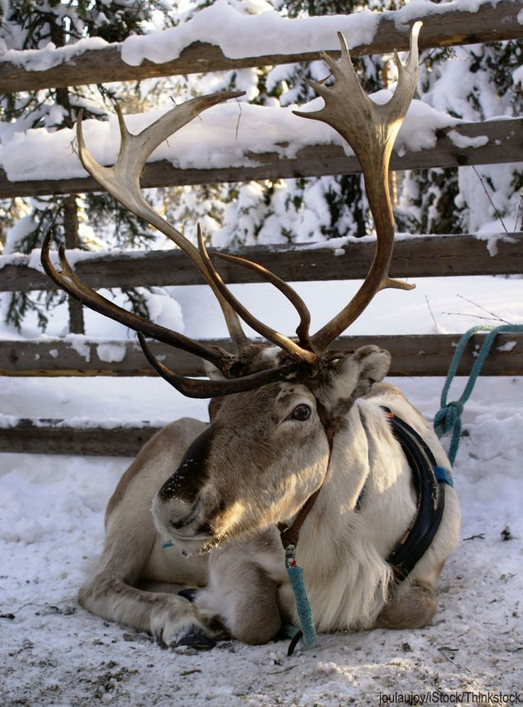 Real reindeer have thicker, rounder bodies, shorter legs, dense coats, and really big antlers with more points and wider tines.