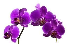 Resultado de imagen para orquideas moradas