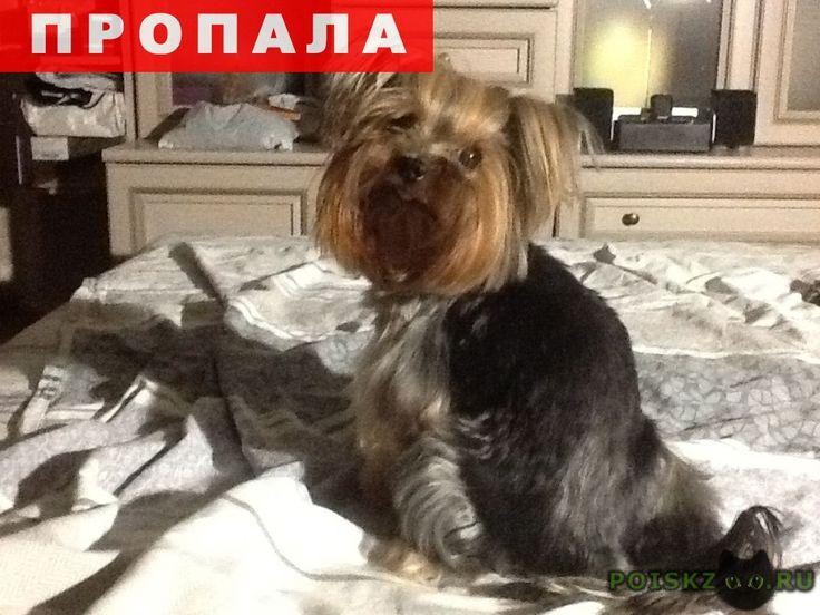 Пропала собака кобель йорк, кличка лева, умоляю, верните г.Голицыно (Московская обл.) http://poiskzoo.ru/board/read25810.html  POISKZOO.RU/25810 Сегодня, .., около ..., с участка по адресу:Голицыно, Крестьянский проспект д. .. убежал мой родной мальчик, Йоркширский терьер Лева. Он очень ласковый и идет к каждому, кто позовет. собаке .. лет, почти без зубов, сильно болеет, можно кормить только лечебными консервами id или сухим кормом для пожилых собак арден грандж. выбежал с участка максимум…