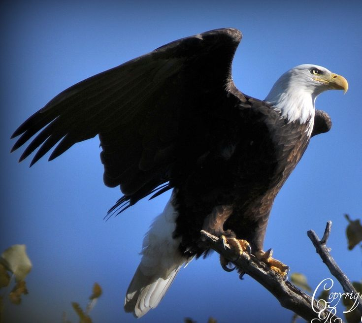 #Birders in & around Montgomery County knew  and loved the Eastwood eagles. The female, Cindy has soared for the last time. This eloquent post tells more of her story.