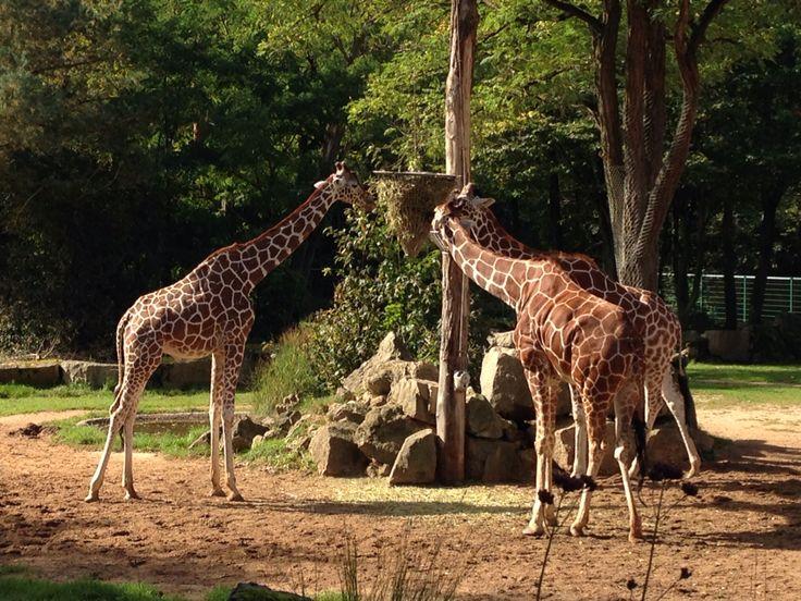 Giraffen im Nürnberger Tierpark