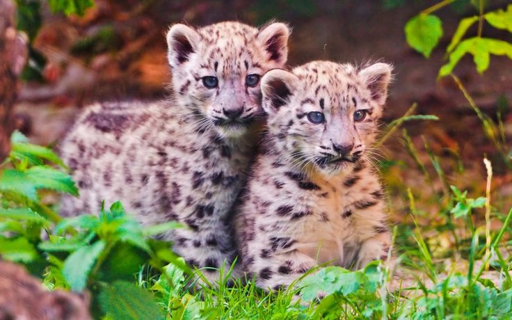 baby snow leopard cutes
