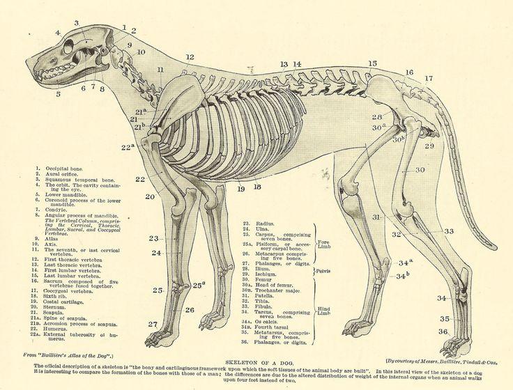 vintage 1935 dog veterinary print skeleton of dog anatomy ... dermatology dog diagram veterinary dog diagram