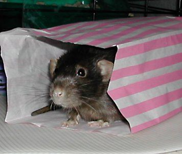 Image result for rat with toy