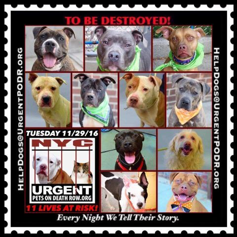 "11 BEAUTIFUL LIVES TO BE DESTROYED 11/29/16 @ NYC ACC **SO MANY GREAT DOGS HAVE BEEN KILLED: Puppies, Throw Away Mamas, Good Family Dogs. This is a HIGH KILL ""CARE CENTER"" w/ POOR LIVING CONDITIONS. Please Share: To rescue a Death Row Dog, Please read this: http://information.urgentpodr.org/adoption-info-and-list-of-rescues/"
