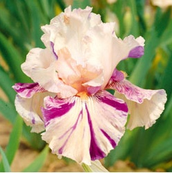TALL BEARDED IRIS 'BRINDLED BEAUTY': To 34 inches tall, a mid- to late season bloomer, very fragrant. Photo courtesy Schreiner's Irises.