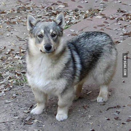 This dog is a Swedish Vallhund. They're basically WOLF CORGIS...