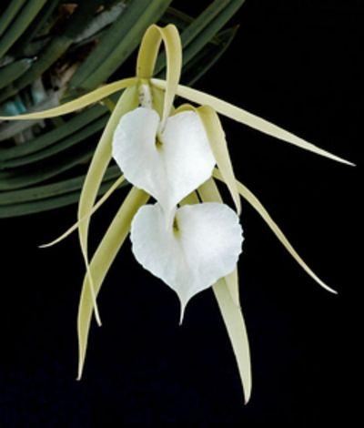 Epidendrum nodosum ~ Orchidee