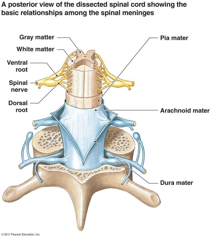 30 mejores imágenes de nervous system en Pinterest | Sistema ...
