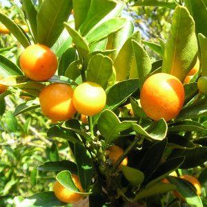 Meiwa Kumquat Tree 2017 In our front yard