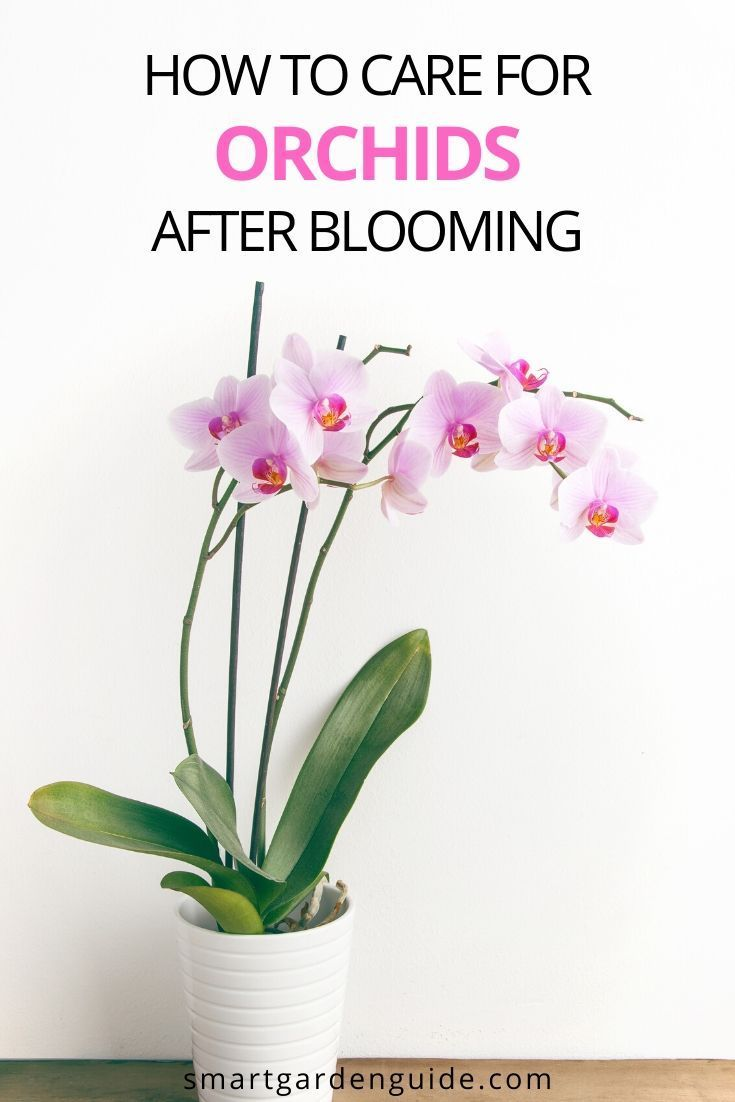 How To Make Phalaenopsis Orchids Rebloom Smart Garden Guide In 2020 Orchid Rebloom Blooming Orchid Orchids