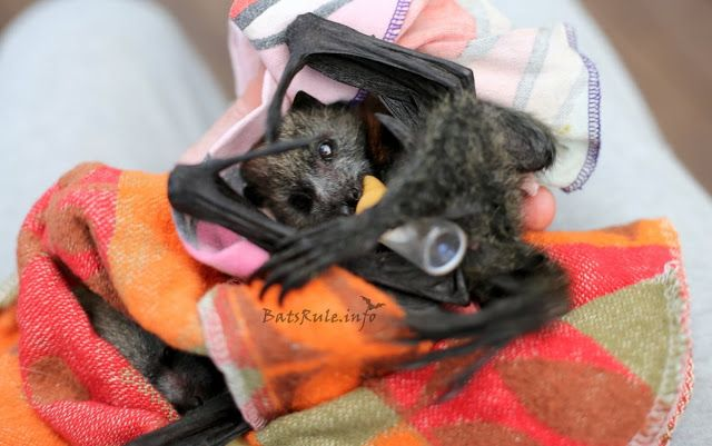 Rehab | Megabat babies Flying-fox fruit bat