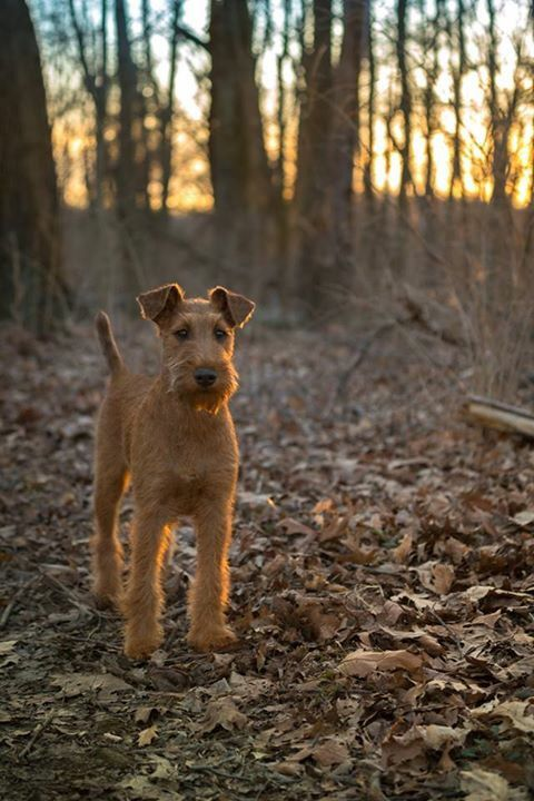 Irish Terriers are so beautiful.
