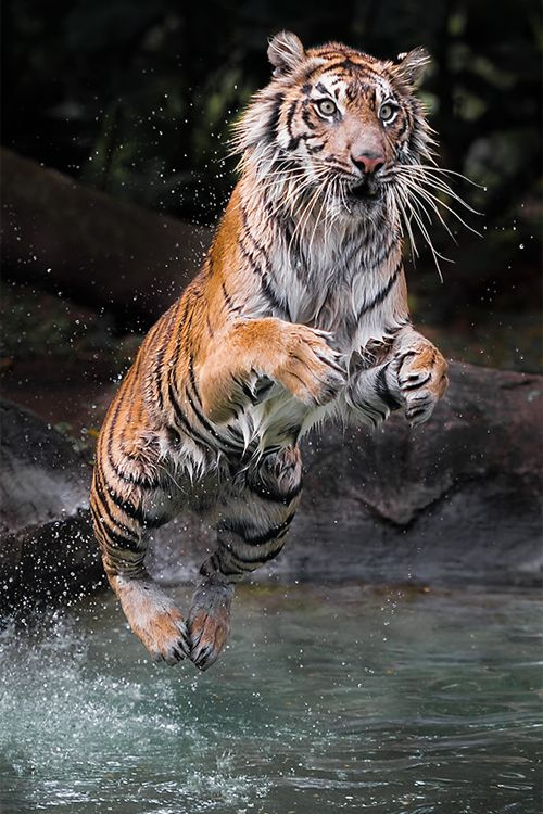 203 best images about Tyger! Tyger! Burning bright! on ...
