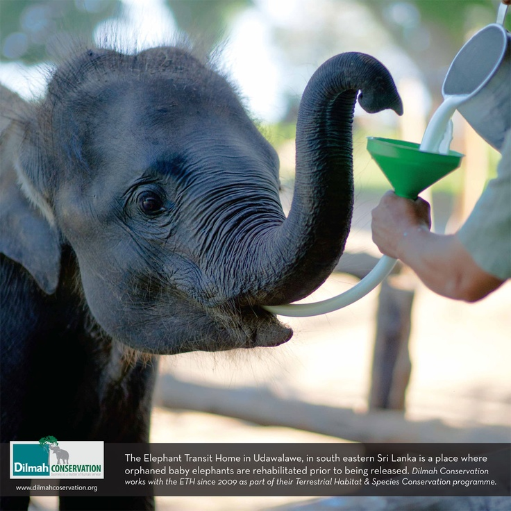 The Elephant Transit Home in Udawalawe, in Eastern Sri Lanka is a place where orphaned baby elephants are rehabilitated prior to being released back into the wild. Dilmah Conservation has worked with the ETH since 2009 as part of their Terrestrial Habitat & Species Conservation Programme.