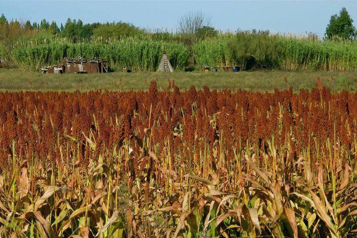 Un champ de sorgho en Uruguay. Photo FAO/Sandro Cespoli