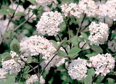 VIBURNUM CARLESII 'COMPACTUM' - Wonderfully fragrant white flowers which open from pink-red buds. Dense, compact, selection produces abundant blooms in spring. Extremely healthy dark green foliage turns wine red in fall.  Size: 3-4' tall and wide in 10 years.
