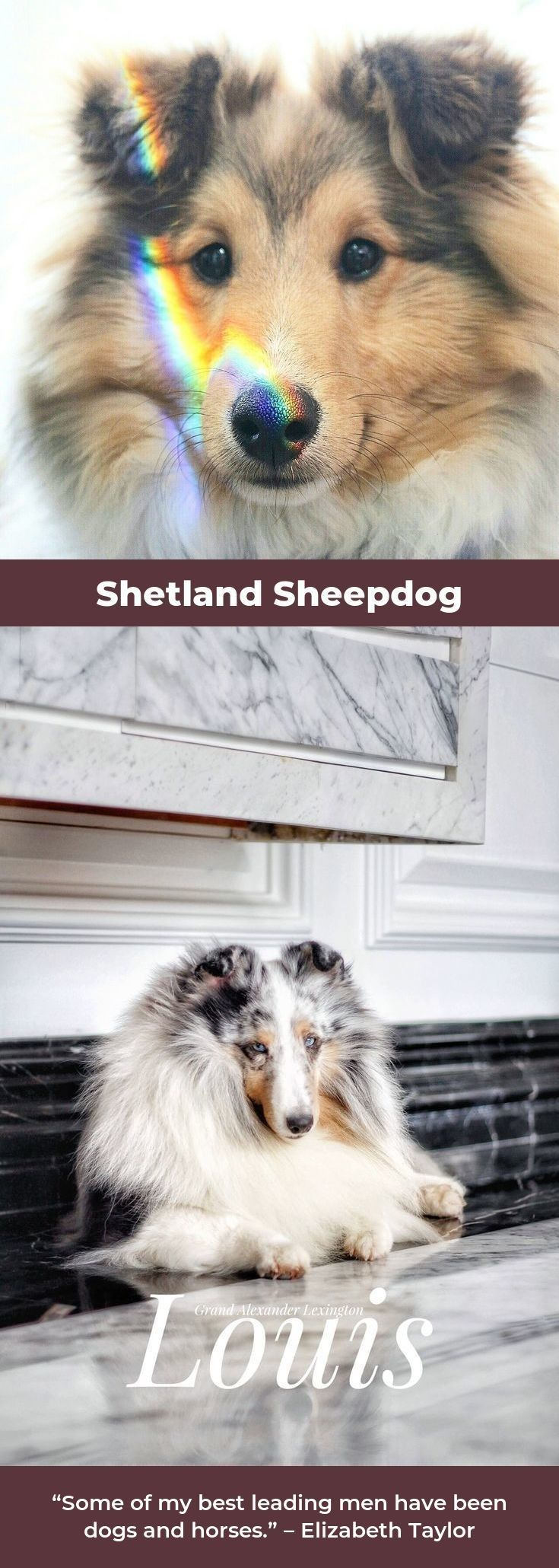 Shetland Sheepdogs shetlandsheepdogpuppy