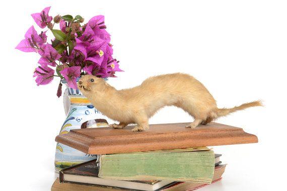 Pequeño hurón disecado taxidermia vintage animales por Brocantebcn #realtaxidermy#vintagetaxidermy#ferrettaxidermy