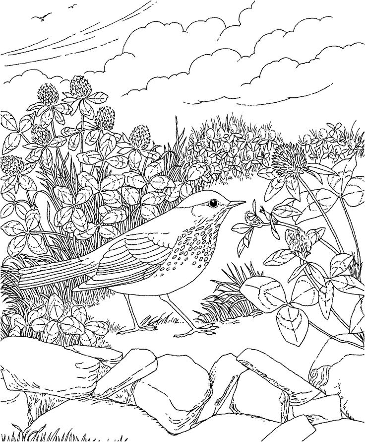 free printable coloring page vermont state bird and flower hermit thrush red clover. Black Bedroom Furniture Sets. Home Design Ideas