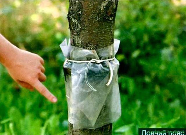 Ловушки на деревьях от вредителей своими руками