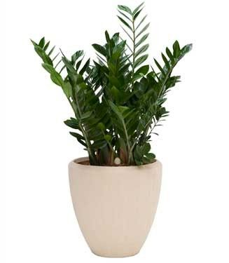 Meer dan 1000 afbeeldingen over kamerplanten en vetplanten for Grote planten voor binnen