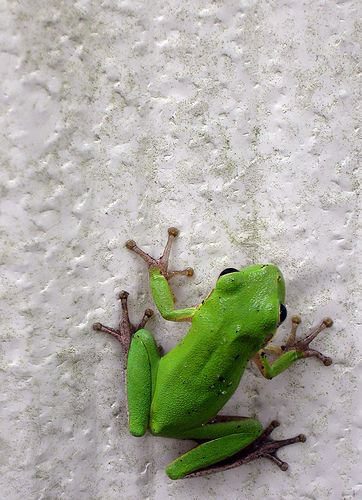 American Green Tree Frog on Shed Door.  Hopping Contrast Here!
