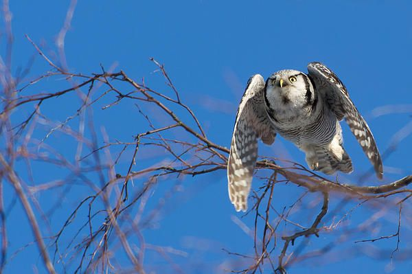 A flying Northern Hawk Owl (Surnia ulula). The Hawk Owl stays over the winter and is a daylight hunter.
