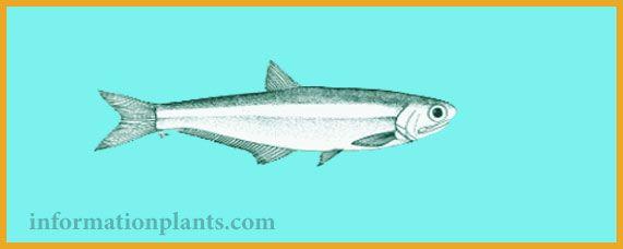 انشوفة المحيط الهادئ Anchoa Analis قسم انواع الاسماك انواع الاسماك انواع الاسماك مع الصور معلوماتية نبات حيوان اسماك فوائد Animals Fish Whale
