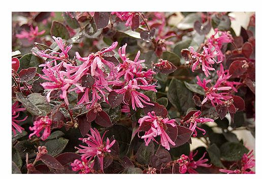 Loropetalum Purple Majesty Rytir