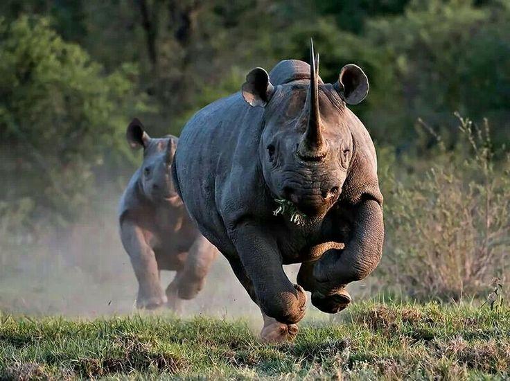 Rhino. Endangered through poaching and habitat loss.