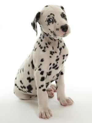 dalmatians in the rain   Pedigree KC Registered Dalmatian Puppies in Morley, Leeds born 20/01 ...