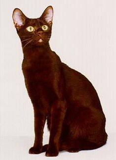 This is the second, of two, cat breeds I'd consider as a pet. The Havana Brown. An all brown cat with green eyes...even their whiskers are brown. But what I like about them is that they will follow you around and also enjoy playing fetch and carrying things around.