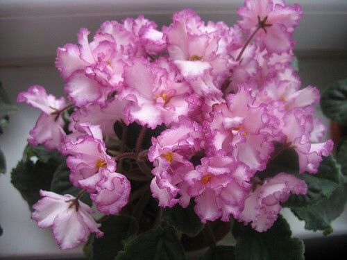 ЯН-Менуэт (Н.А.Пуминова. 2006 г.).   Крупные, полумахровые и махровые, светло-розовые цветы с ярко-фуксиевой каймой-напылением. Лист зелёный, слегка зубчатый и волнистый. Цветение обильное.
