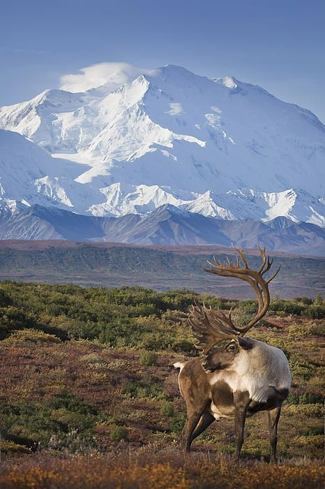 Denali Alaska Caribou 2 by Milo Burcham | TRAVEL: Around ...