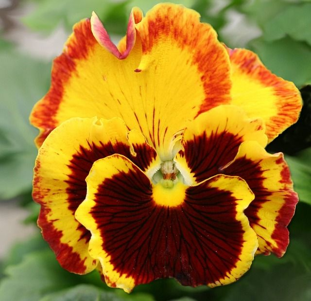 Magnificent Pansy and a great post on the color BROWN. Read more.