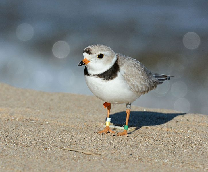 Piping Plovers nest in Eastern Ontario for first time in 100 years