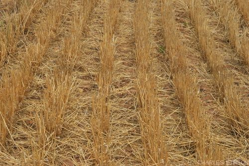 The harvest is in. Wheat stubble in the Overberg. Photo Charles Stirton