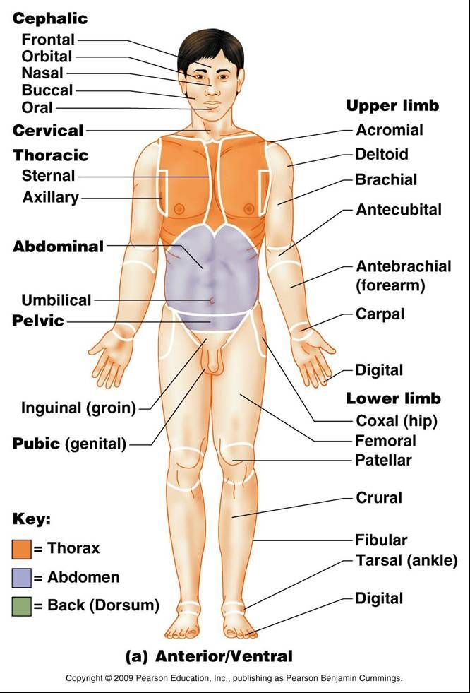 Anatomy Regional Terms Study Guide