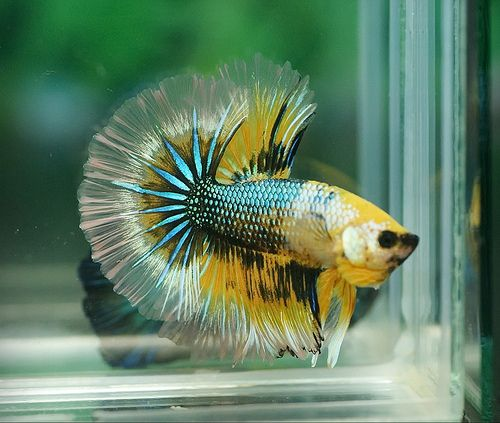 293 best images about betta on pinterest betta fish tank for Yellow fish tank water