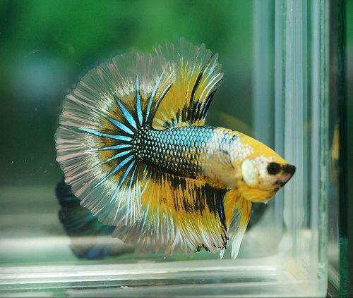 293 best images about betta on pinterest betta fish tank for Betta fish water temp